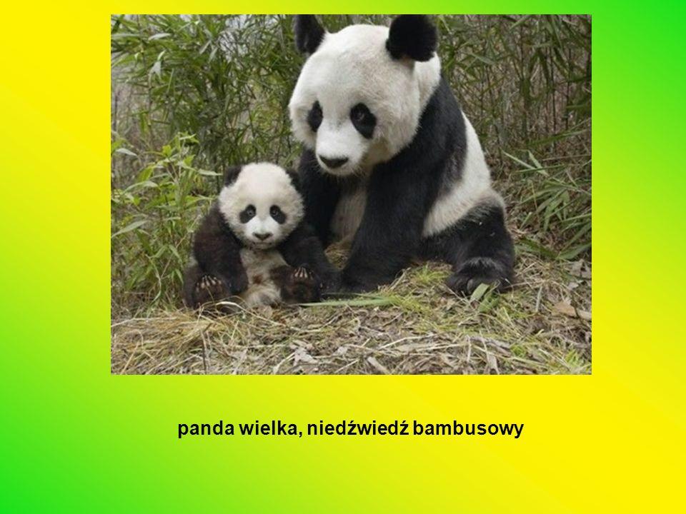 panda wielka, niedźwiedź bambusowy