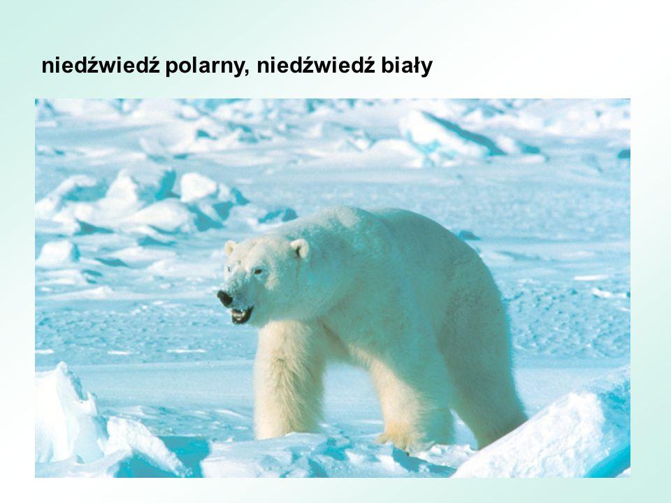 niedźwiedź polarny, niedźwiedź biały