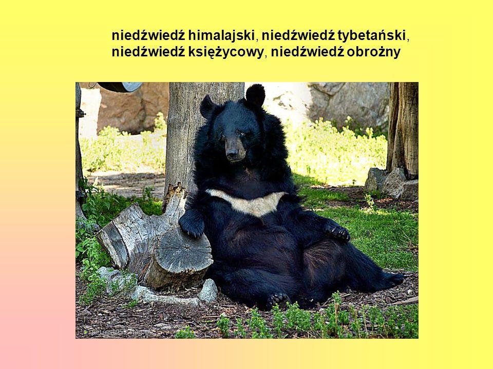 niedźwiedź himalajski, niedźwiedź tybetański,