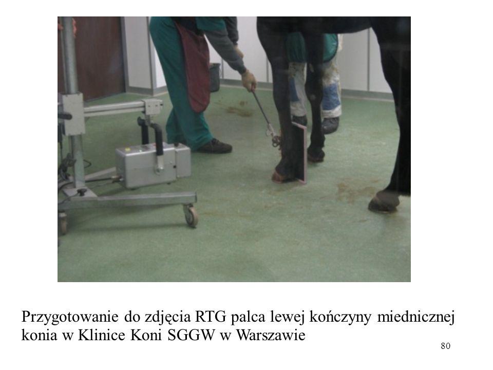 Przygotowanie do zdjęcia RTG palca lewej kończyny miednicznej konia w Klinice Koni SGGW w Warszawie