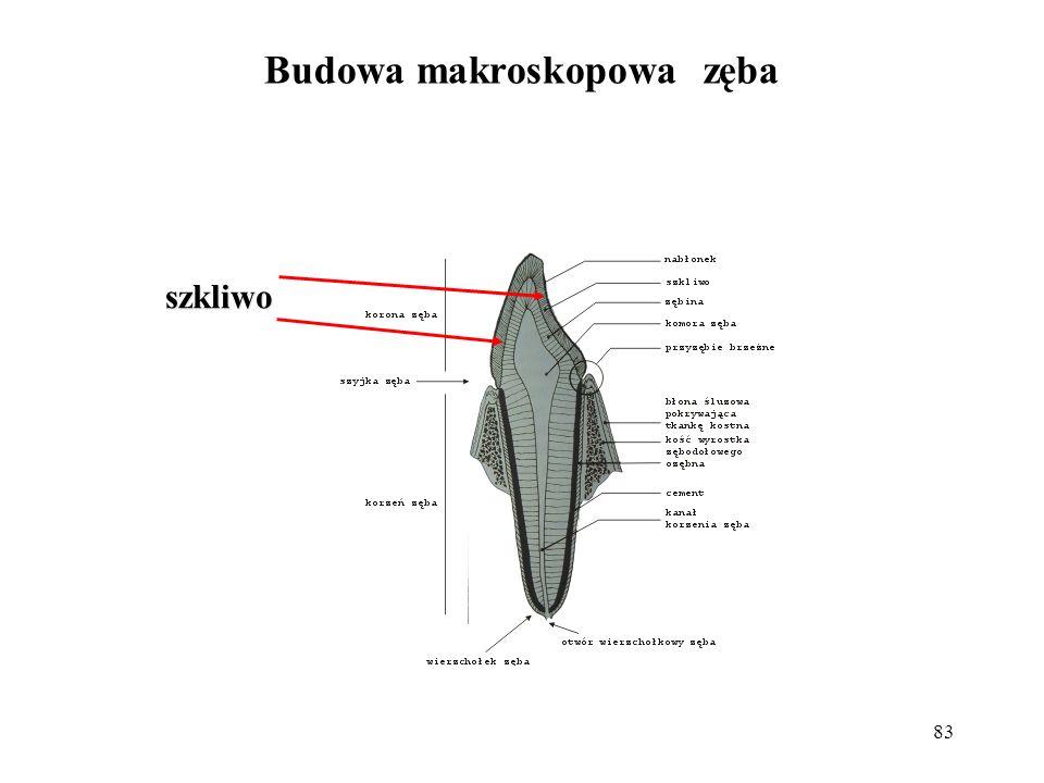 Budowa makroskopowa zęba