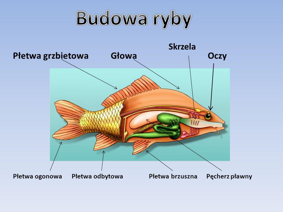 Budowa ryby Płetwa grzbietowa Głowa Oczy Skrzela