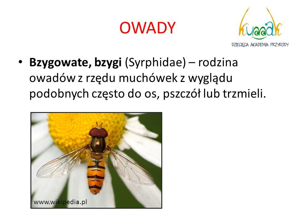 OWADY Bzygowate, bzygi (Syrphidae) – rodzina owadów z rzędu muchówek z wyglądu podobnych często do os, pszczół lub trzmieli.