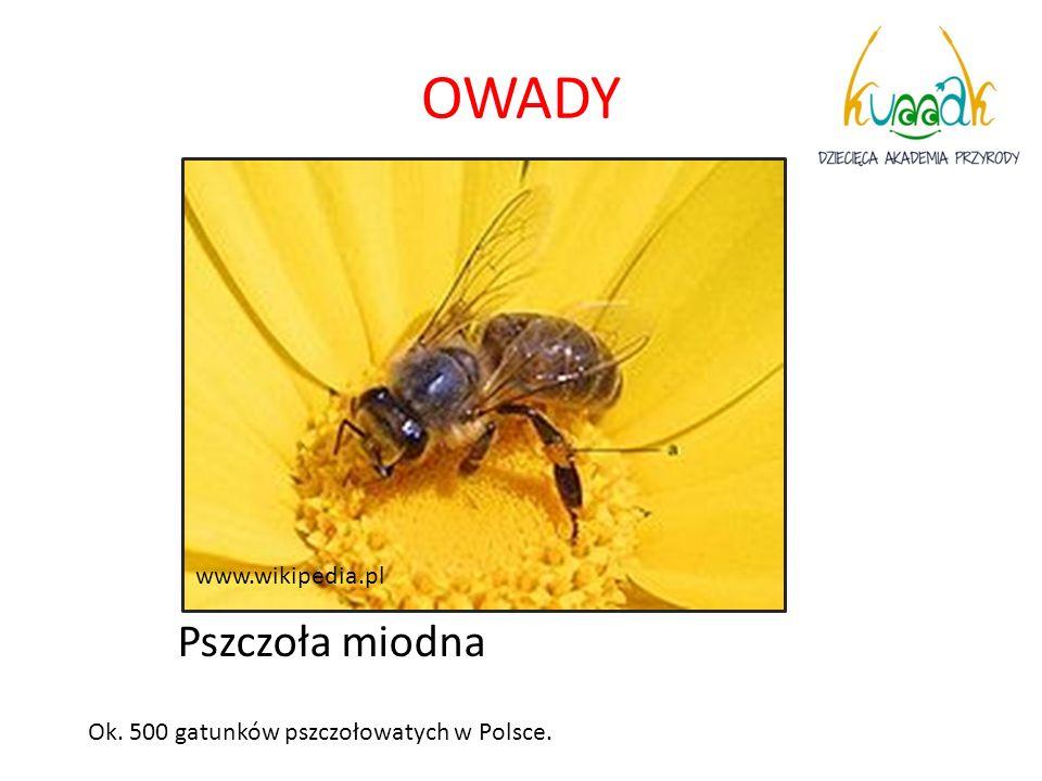 OWADY Pszczoła miodna www.wikipedia.pl