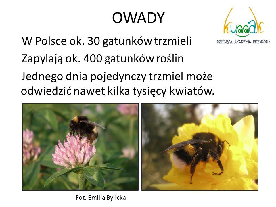 OWADY W Polsce ok. 30 gatunków trzmieli Zapylają ok. 400 gatunków roślin Jednego dnia pojedynczy trzmiel może odwiedzić nawet kilka tysięcy kwiatów.