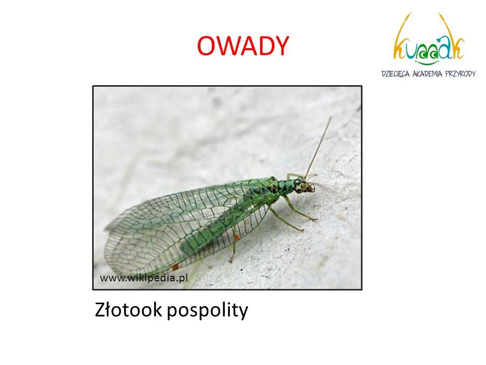 OWADY www.wikipedia.pl Złotook pospolity