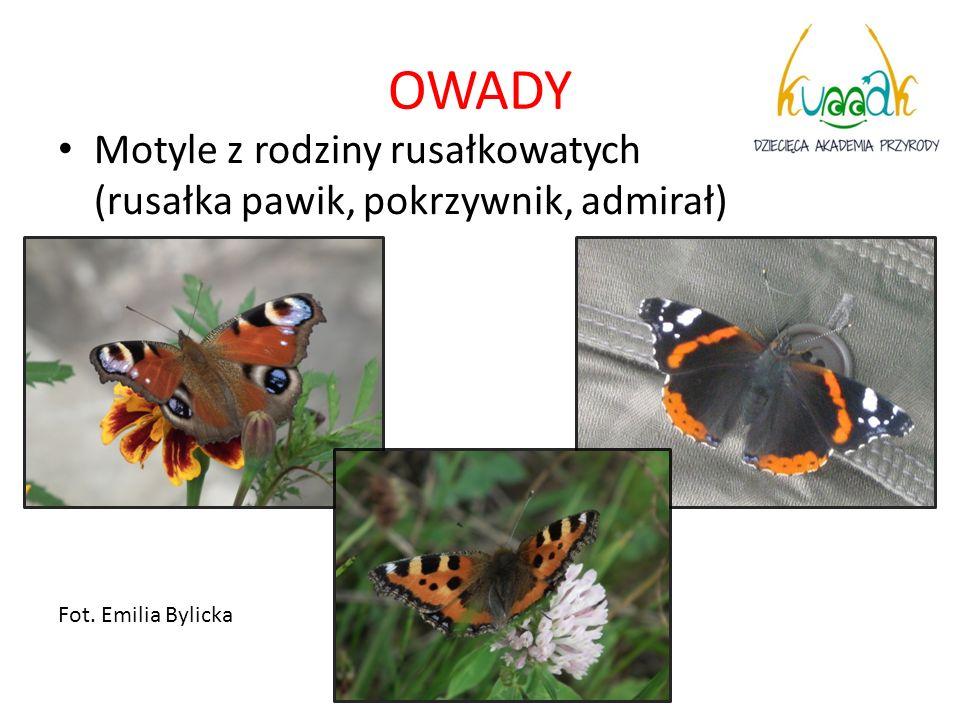 OWADY Motyle z rodziny rusałkowatych (rusałka pawik, pokrzywnik, admirał) Fot. Emilia Bylicka