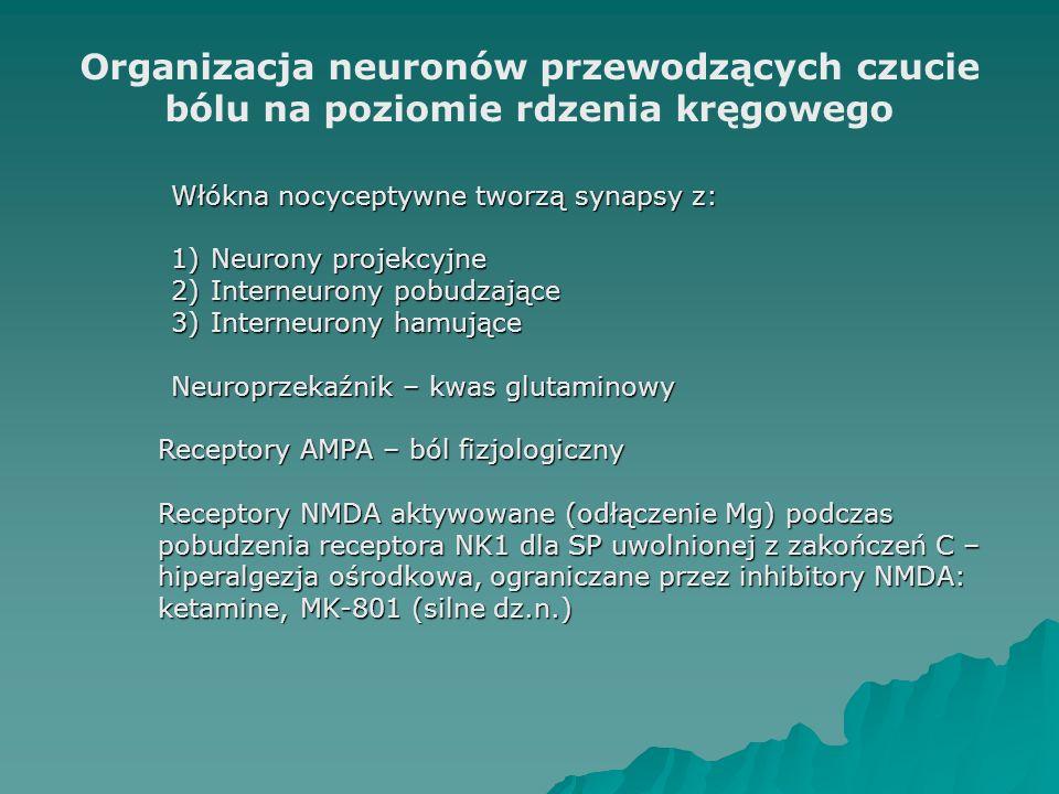 Organizacja neuronów przewodzących czucie bólu na poziomie rdzenia kręgowego