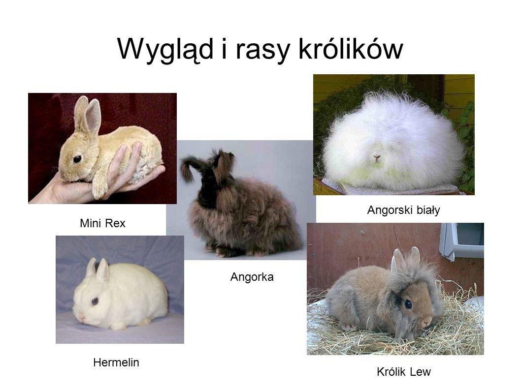 Wygląd i rasy królików Angorski biały Mini Rex Angorka Hermelin
