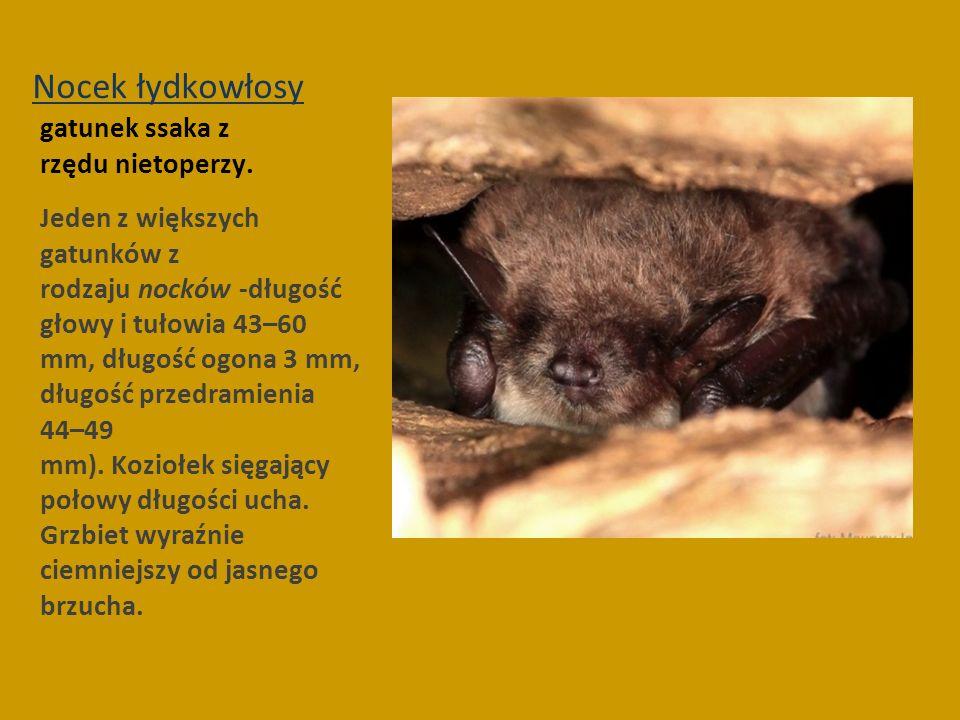 Nocek łydkowłosy gatunek ssaka z rzędu nietoperzy.