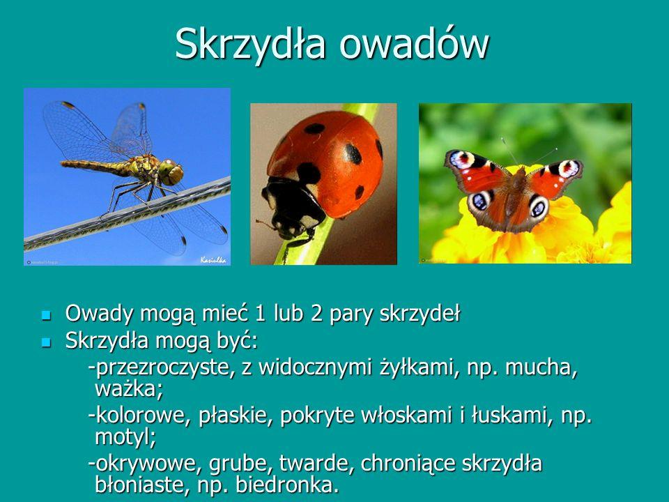 Skrzydła owadów Owady mogą mieć 1 lub 2 pary skrzydeł