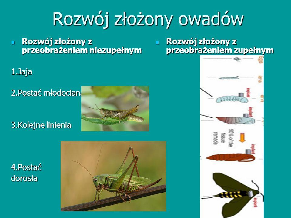 Rozwój złożony owadów Rozwój złożony z przeobrażeniem niezupełnym