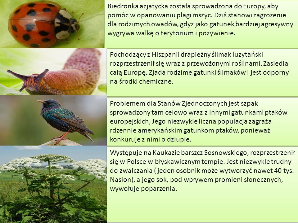 Biedronka azjatycka została sprowadzona do Europy, aby pomóc w opanowaniu plagi mszyc. Dziś stanowi zagrożenie dla rodzimych owadów, gdyż jako gatunek bardziej agresywny wygrywa walkę o terytorium i pożywienie.