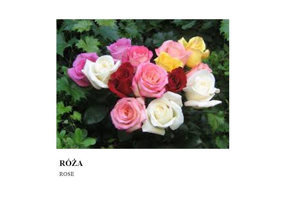 RÓŻA ROSE