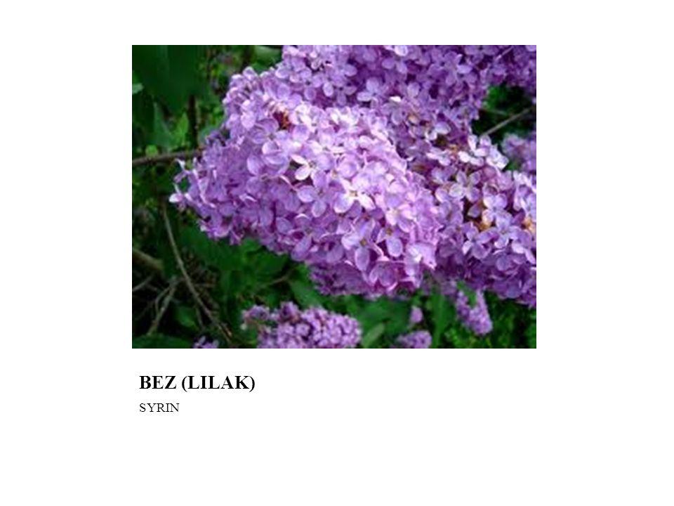 BEZ (LILAK) SYRIN