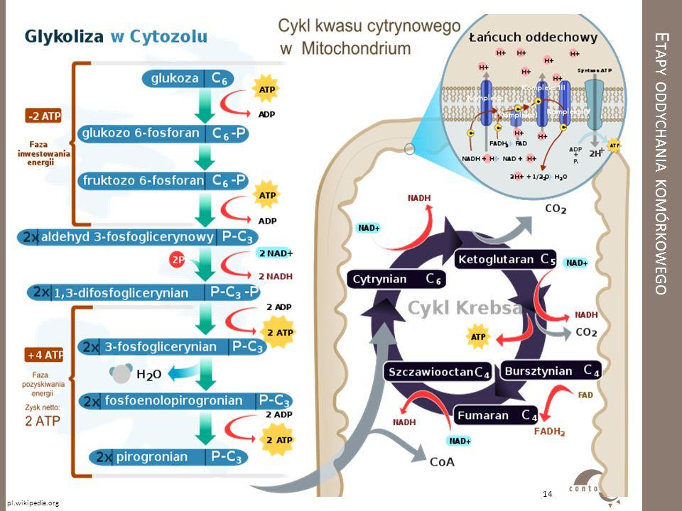 Etapy oddychania komórkowego