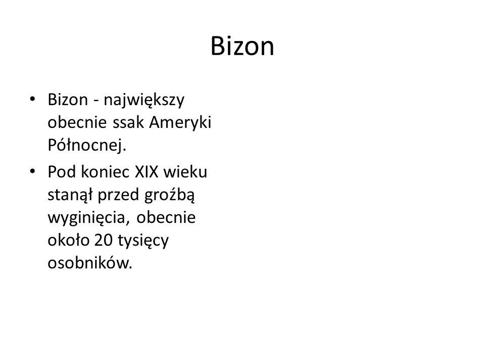 Bizon Bizon - największy obecnie ssak Ameryki Północnej.