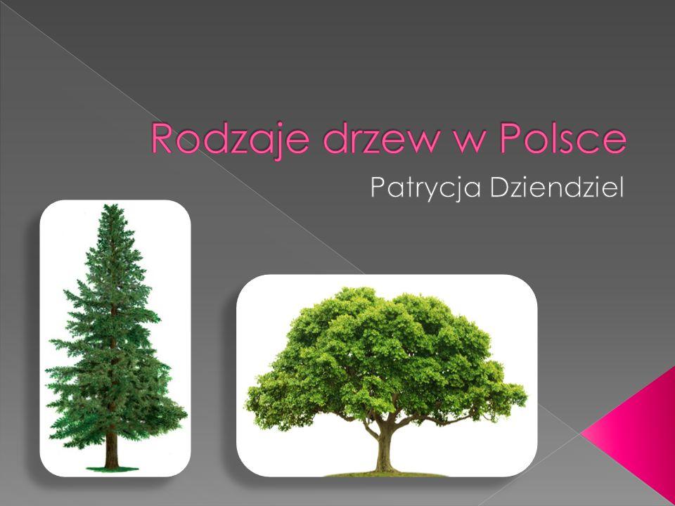 Rodzaje drzew w Polsce Patrycja Dziendziel