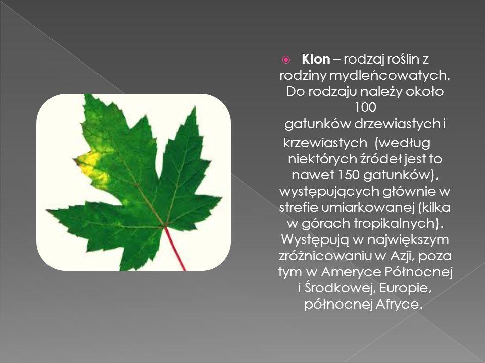 Klon – rodzaj roślin z rodziny mydleńcowatych