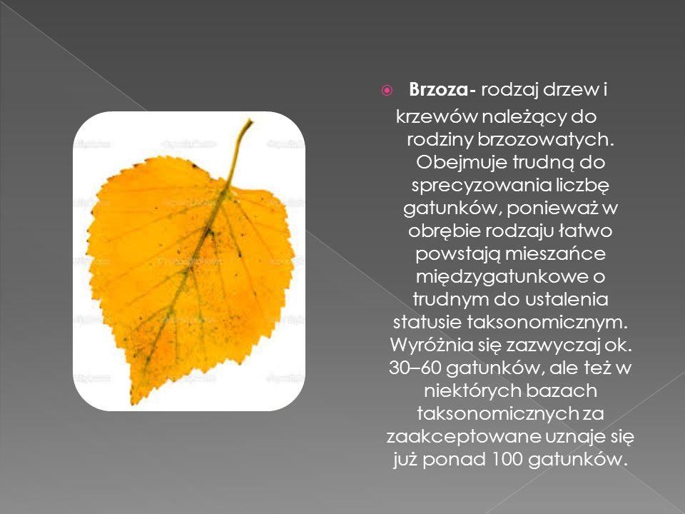 Brzoza- rodzaj drzew i