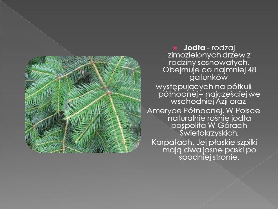 Jodła - rodzaj zimozielonych drzew z rodziny sosnowatych