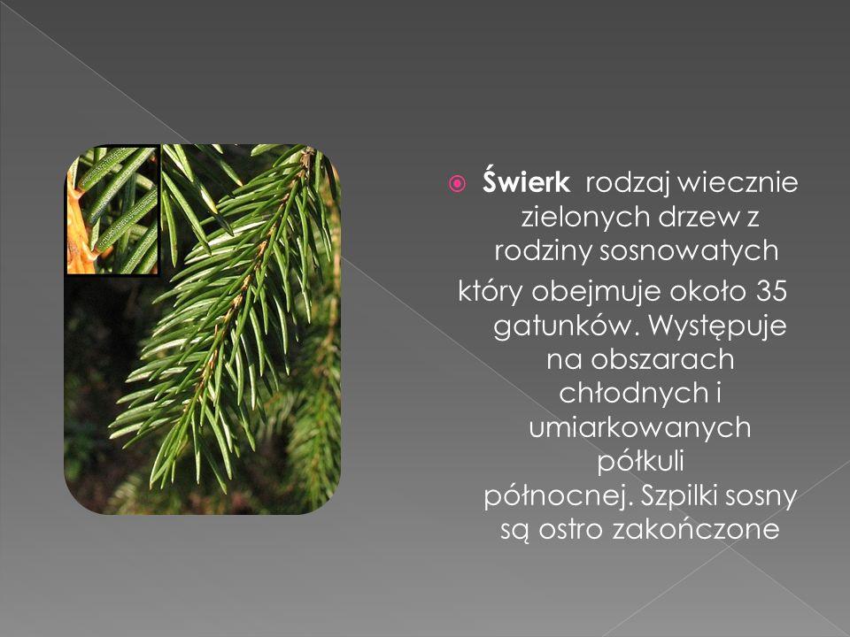 Świerk rodzaj wiecznie zielonych drzew z rodziny sosnowatych