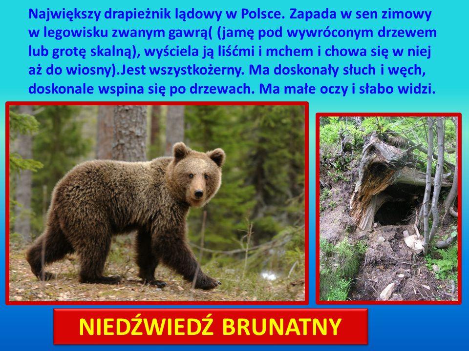 Największy drapieżnik lądowy w Polsce