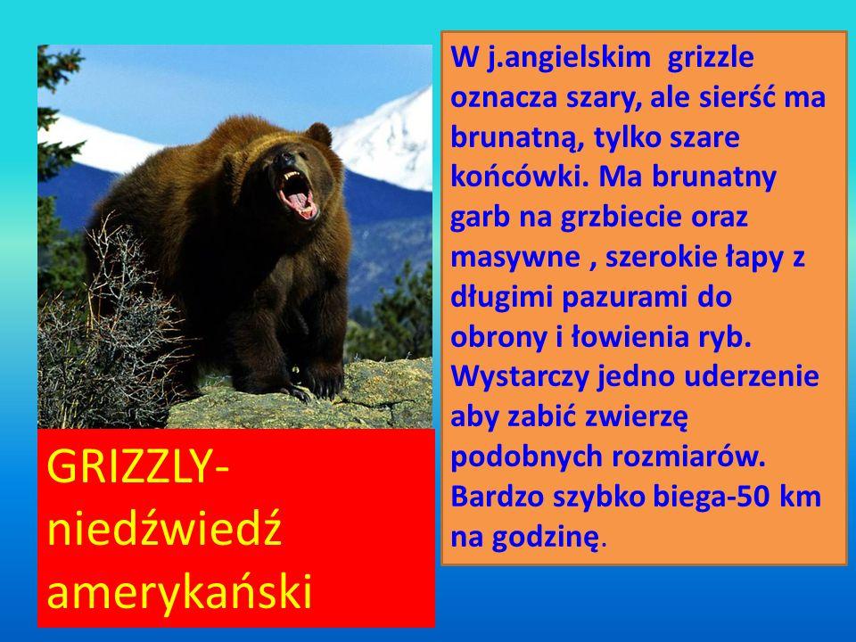 GRIZZLY-niedźwiedź amerykański