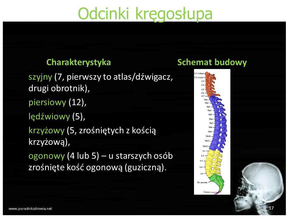 Odcinki kręgosłupa Charakterystyka Schemat budowy