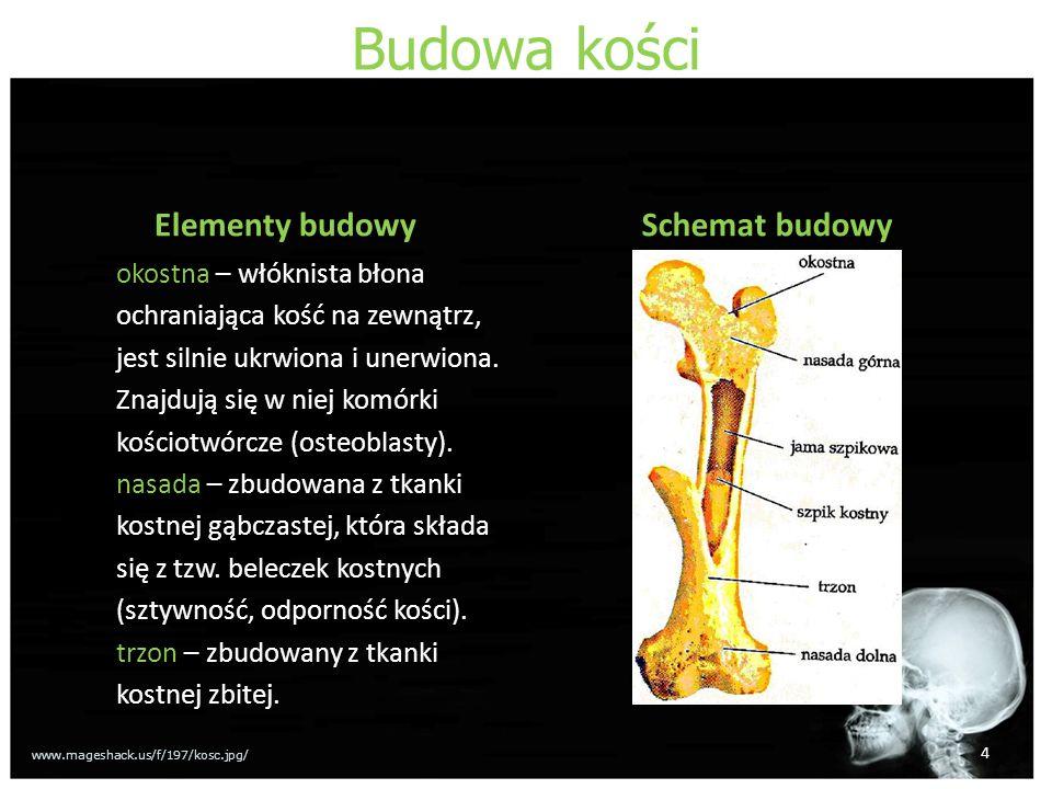 Budowa kości Elementy budowy Schemat budowy