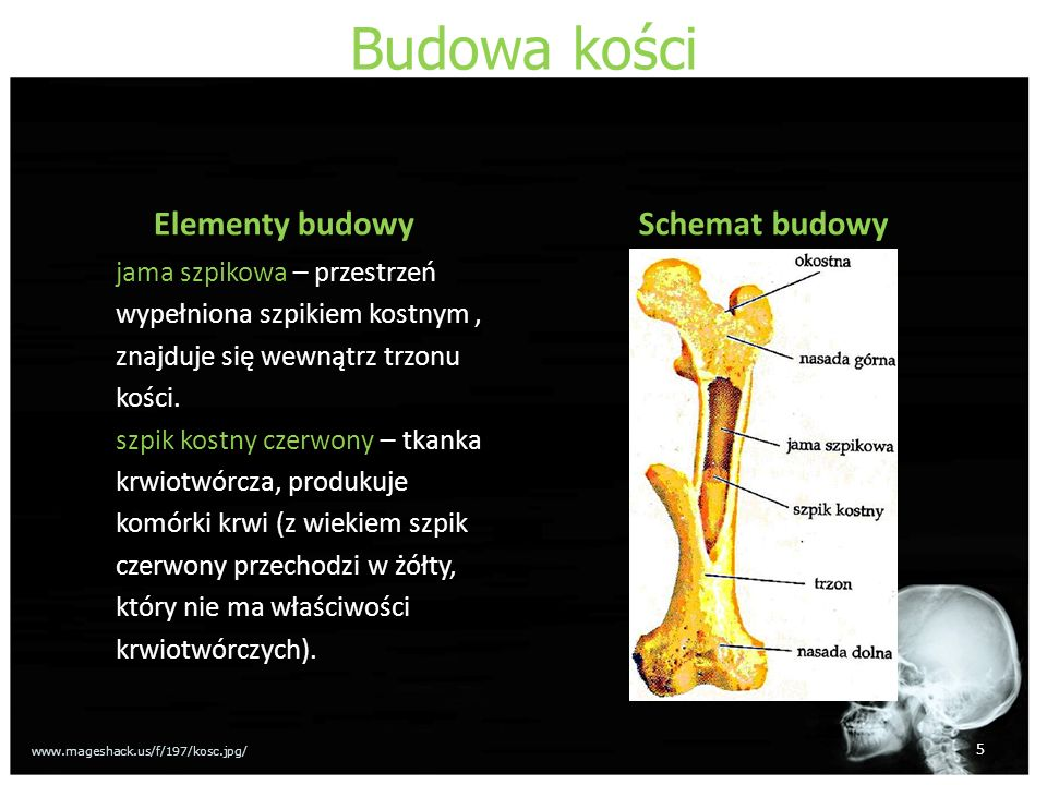 Budowa kości Elementy budowy Schemat budowy jama szpikowa – przestrzeń