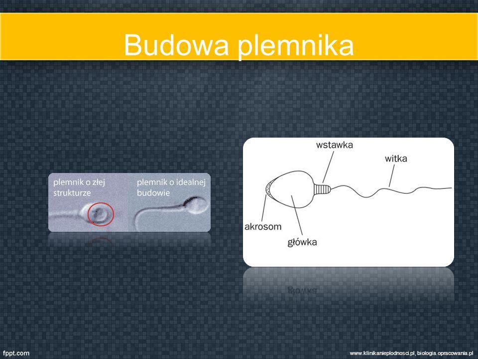 Budowa plemnika www.klinikanieplodnosci.pl, biologia.opracowania.pl