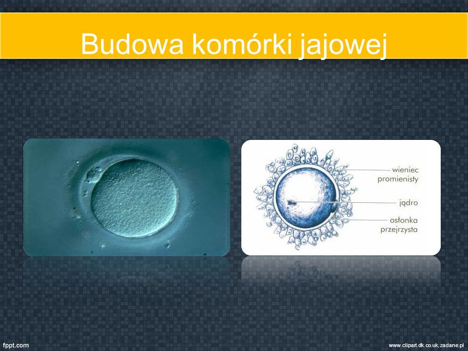 Budowa komórki jajowej