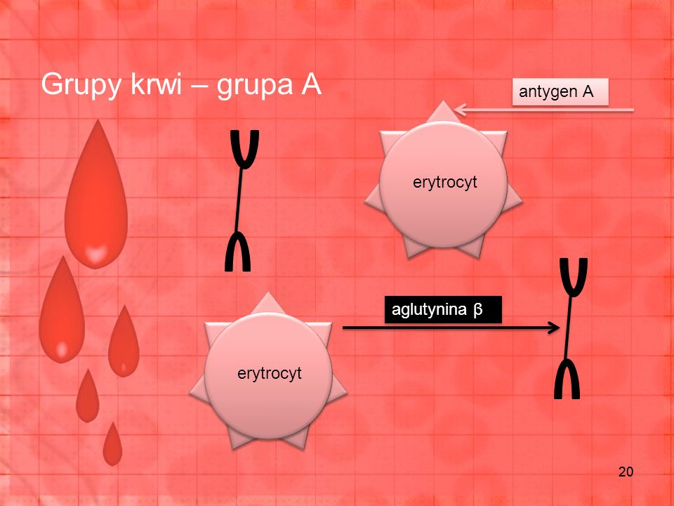 Grupy krwi – grupa A antygen A erytrocyt aglutynina β erytrocyt 20