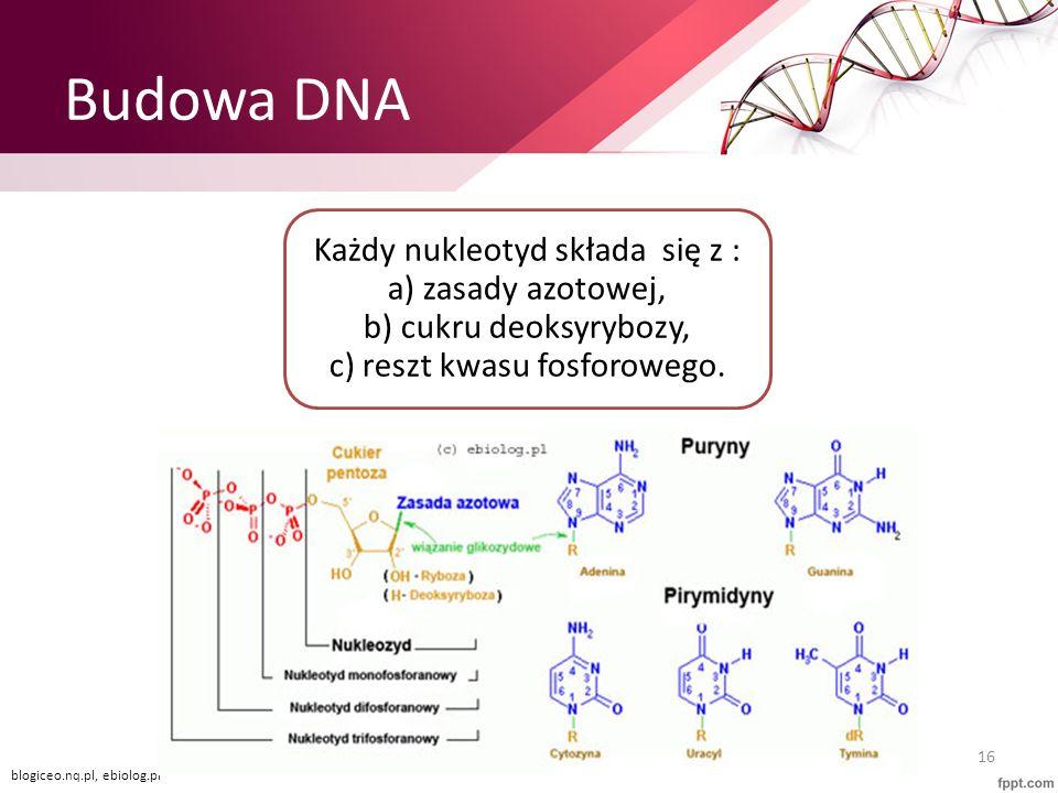 Budowa DNA Każdy nukleotyd składa się z : a) zasady azotowej, b) cukru deoksyrybozy, c) reszt kwasu fosforowego.