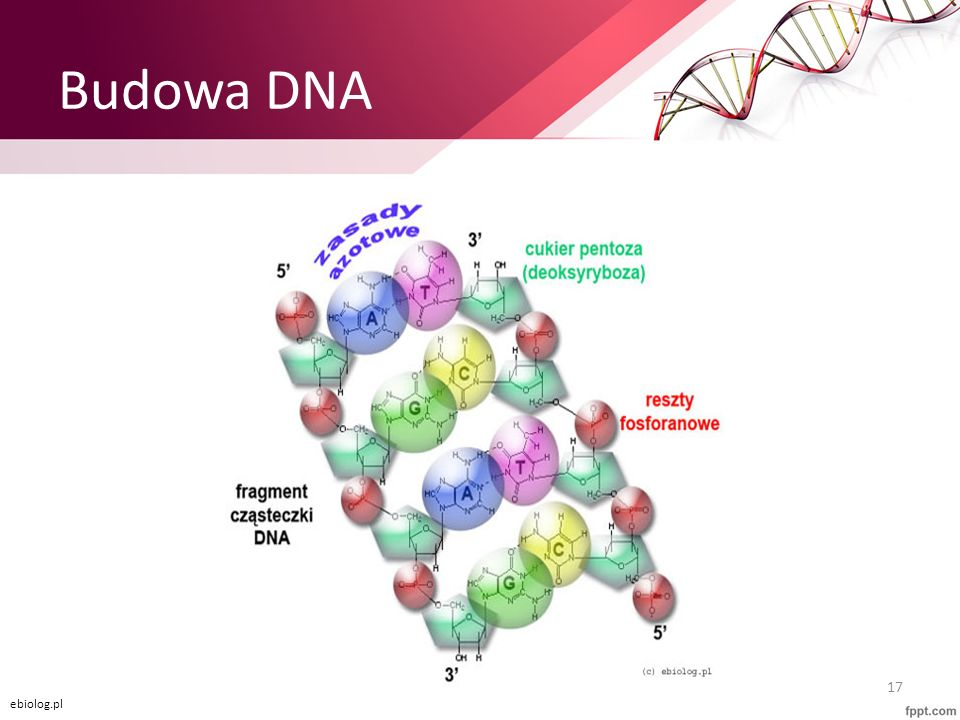Budowa DNA ebiolog.pl