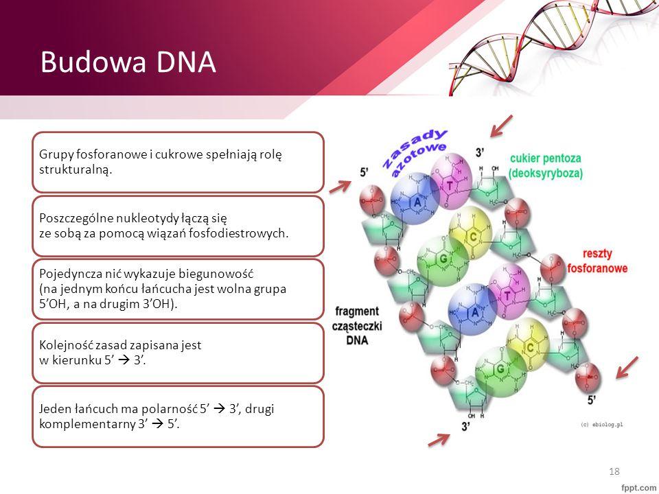 Budowa DNA Grupy fosforanowe i cukrowe spełniają rolę strukturalną.