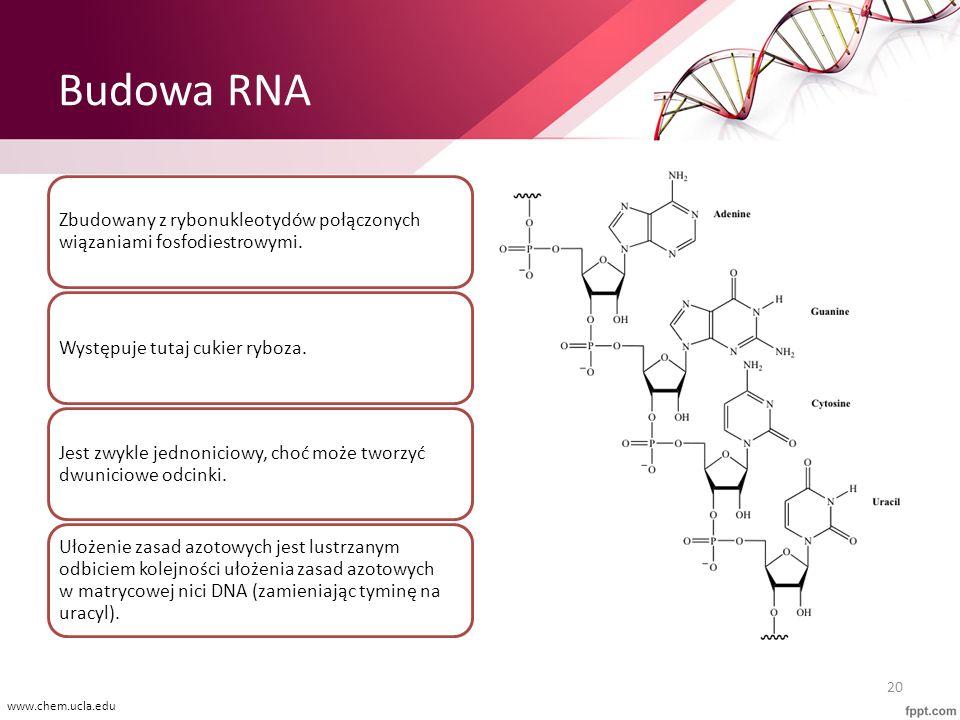 Budowa RNA Zbudowany z rybonukleotydów połączonych wiązaniami fosfodiestrowymi. Występuje tutaj cukier ryboza.