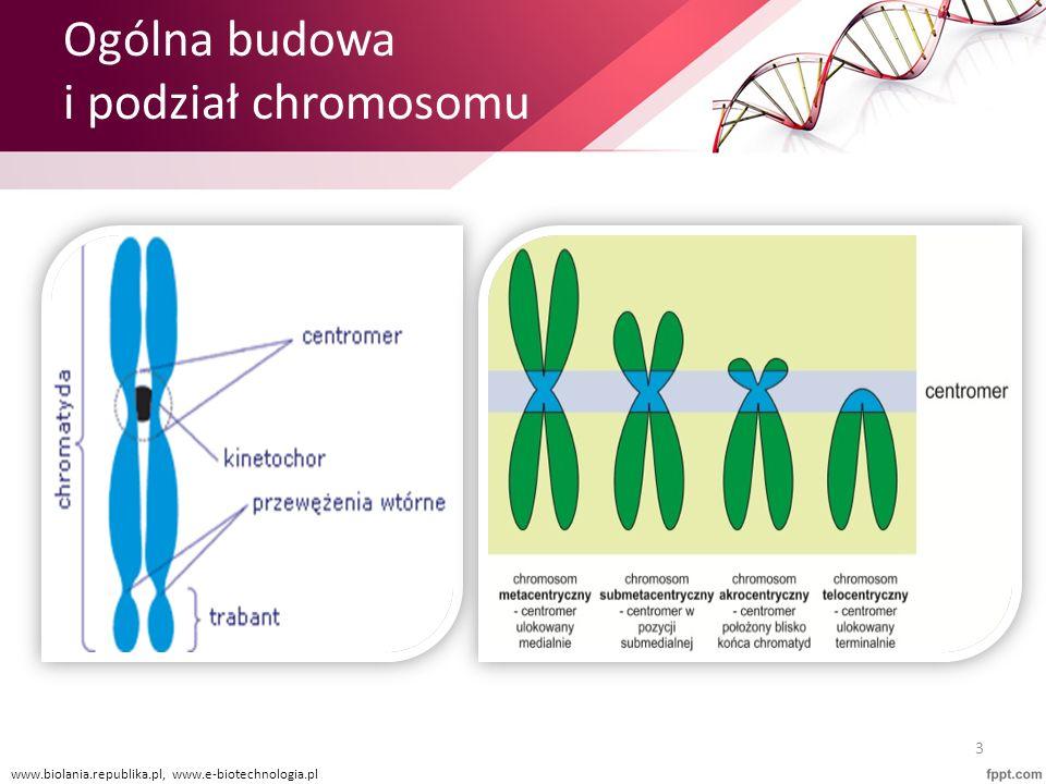 Ogólna budowa i podział chromosomu
