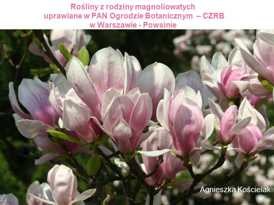 Rośliny z rodziny magnoliowatych uprawiane w PAN Ogrodzie Botanicznym – CZRB w Warszawie - Powsinie