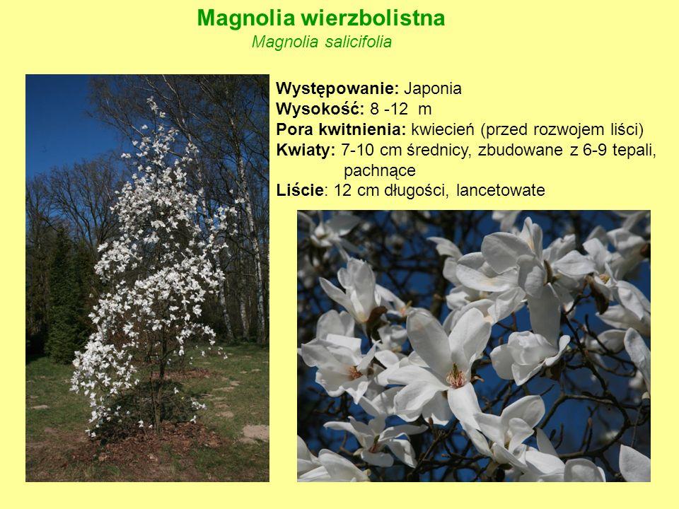 Magnolia wierzbolistna