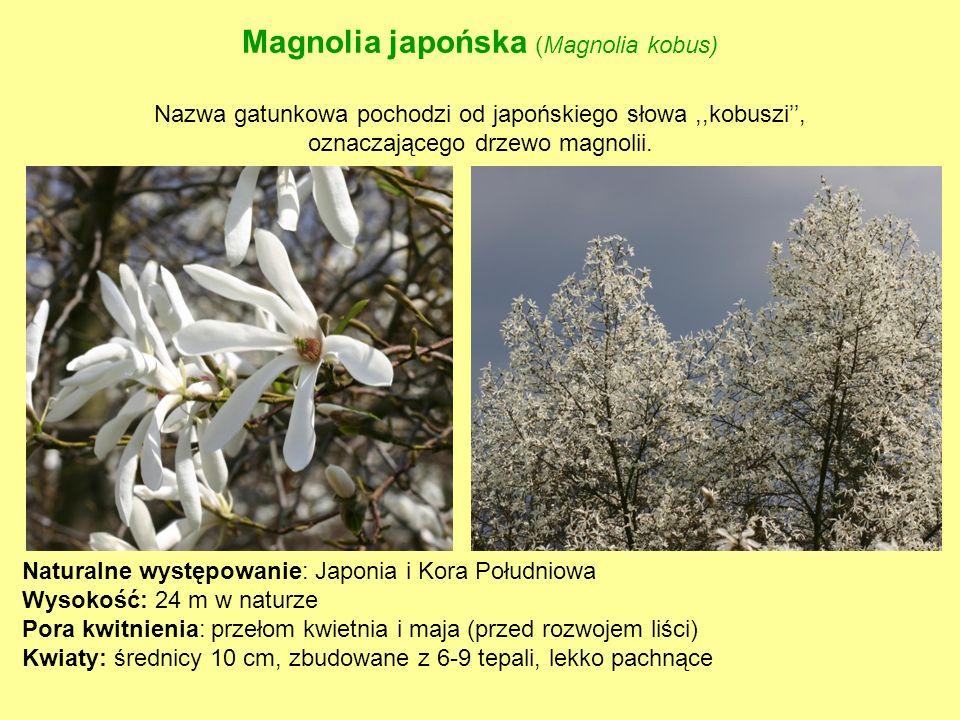 Magnolia japońska (Magnolia kobus) Nazwa gatunkowa pochodzi od japońskiego słowa ,,kobuszi'', oznaczającego drzewo magnolii.