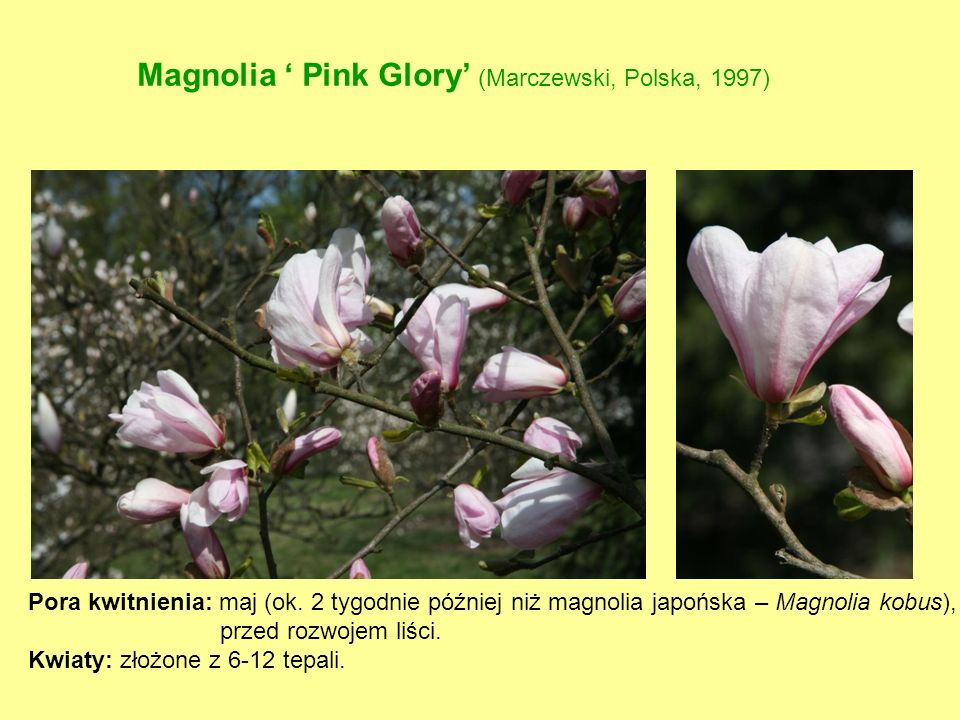 Magnolia ' Pink Glory' (Marczewski, Polska, 1997)