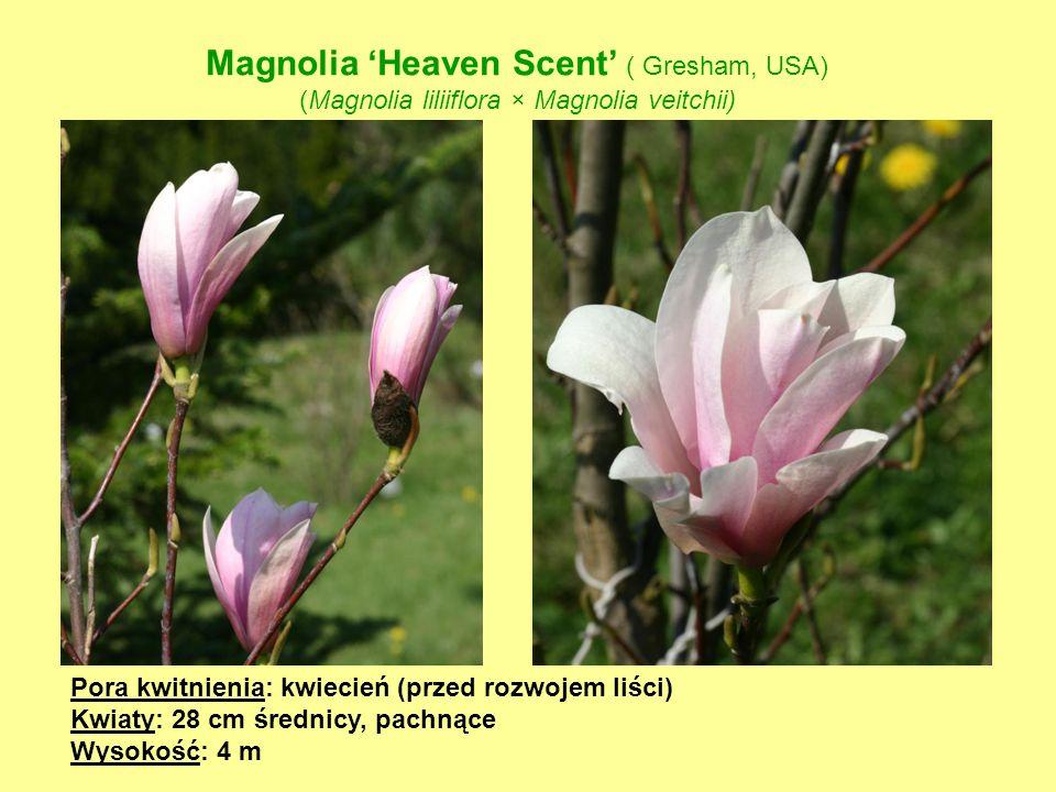 Magnolia 'Heaven Scent' ( Gresham, USA)