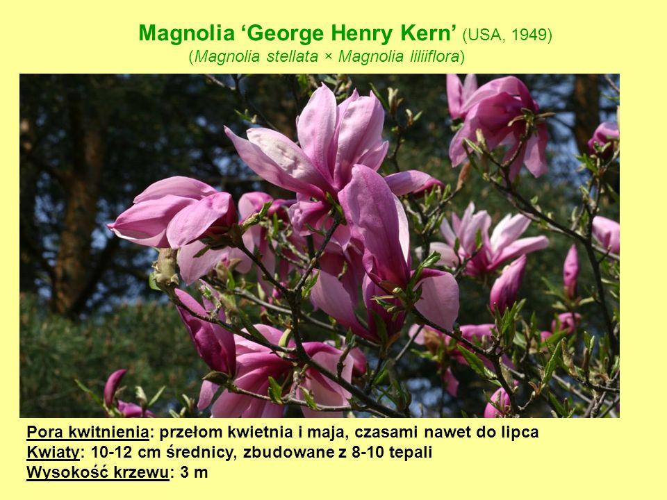 Magnolia 'George Henry Kern' (USA, 1949)