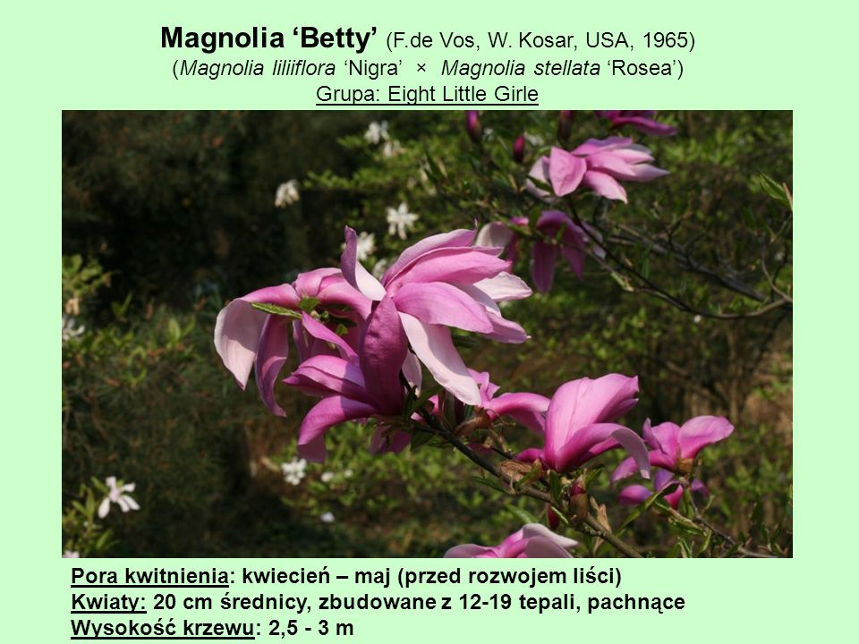 Magnolia 'Betty' (F.de Vos, W. Kosar, USA, 1965)