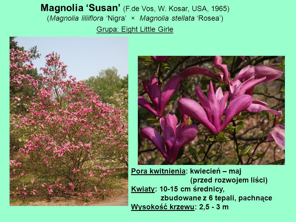 Magnolia 'Susan' (F.de Vos, W. Kosar, USA, 1965)