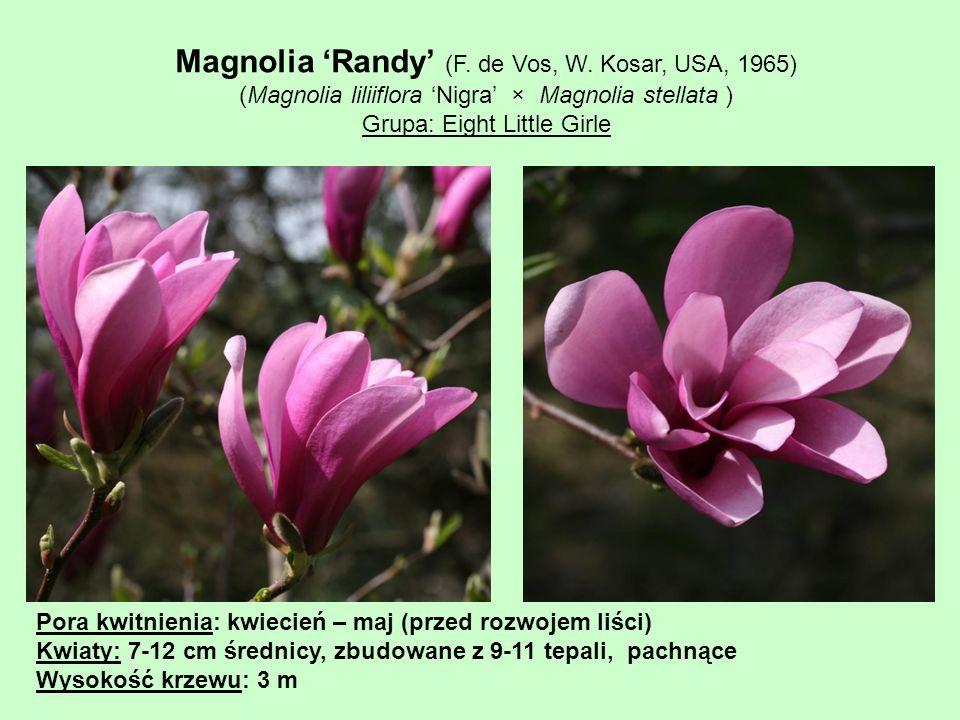 Magnolia 'Randy' (F. de Vos, W. Kosar, USA, 1965)