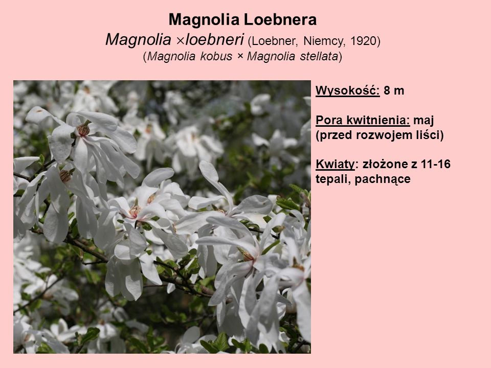 Magnolia loebneri (Loebner, Niemcy, 1920)