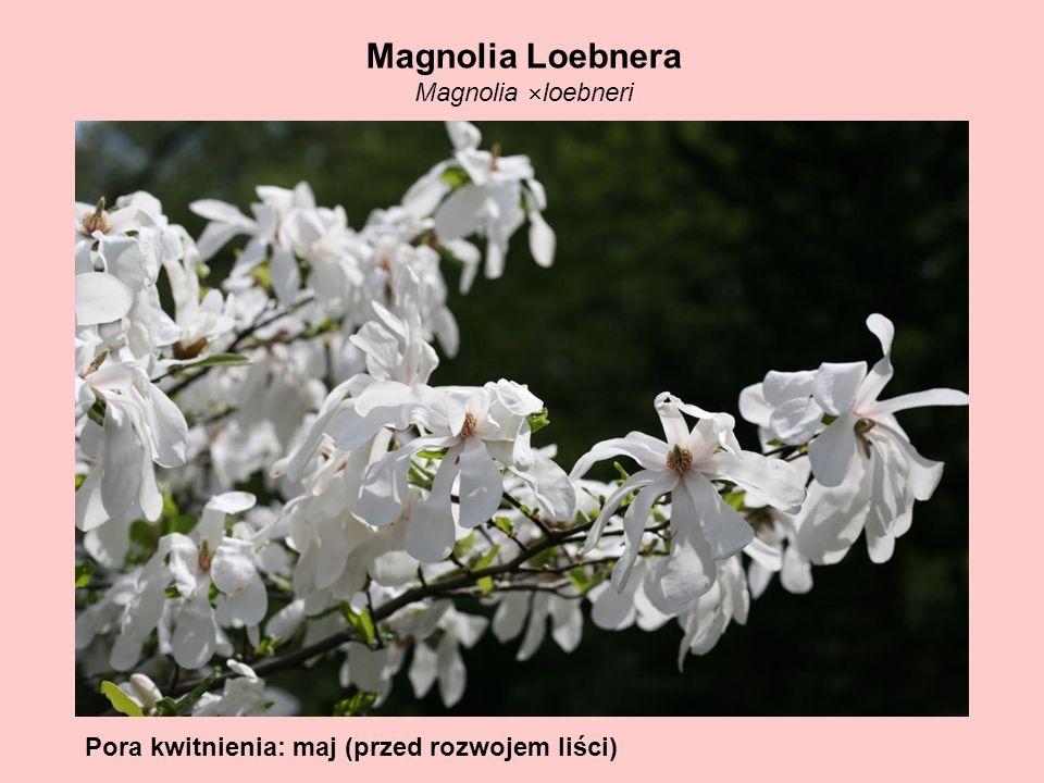 Magnolia Loebnera Magnolia loebneri